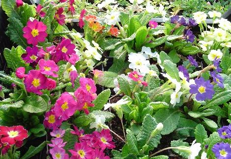 Pierwiosnek omszony - Primula x pubescens