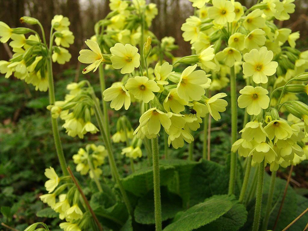 Pierwiosnek wyniosły - Primula elatior