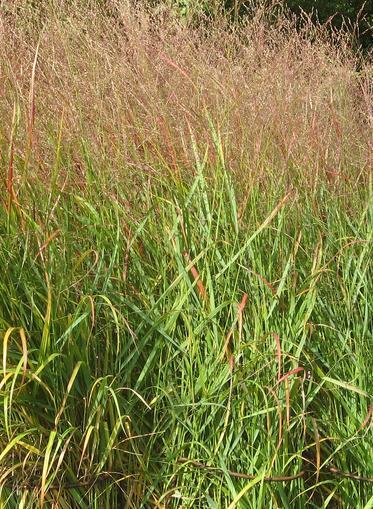 Proso rózgowe – Panicum virgatum