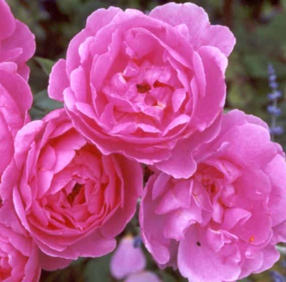 Róża, Róże - Rose