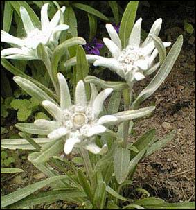 Szarotka Palibina - Leontopodium palibinianum