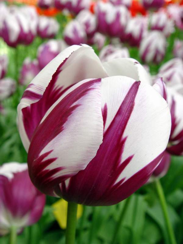 Tulipan, Tulipany – Tulipa