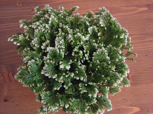 Widliczka, Róża Jerychońska - Selaginella