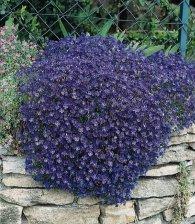 Żagwin ogrodowy - Aubrieta cultorum
