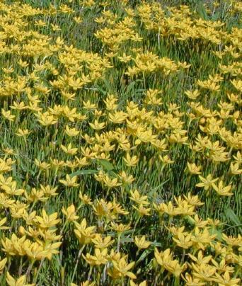 Zefirant -  Zephyranthes