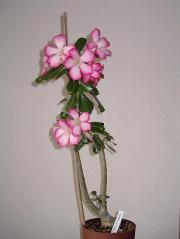Adenium – róża pustyni.