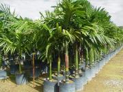 Areka katechu, Palma Areca,– Areca catechu