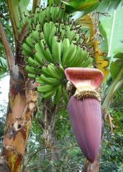 Banan - Bananowiec