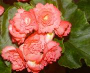 Begonia bulwiasta - Begonia x tuberhybrida  (syn. B. tuberosa)