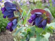 Cerinte - Cerinthe major purpurascens