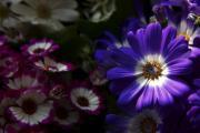 Cyneraria, Starzec, Starzec popielnik