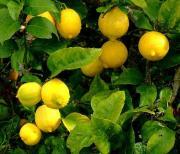 Cytryna – Drzewko cytrynowe.