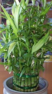 Dracena Sandera, Lucky Bamboo - Dracaena sanderiana