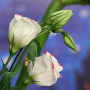 Eustoma – Eustoma grandiflorum