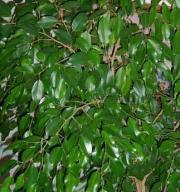Figowiec Benjamiski, (Beniaminek) - Ficus Benjamina  