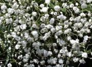 Gipswka byszczca &#8211; Gypsophila paniculata