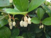 Golteria pełzająca - Gaultheria procum