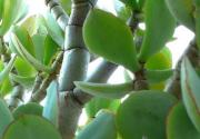Grubosz drzewiasty – Crassula arborescens