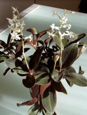 Hemaria – Ludisia discolor (storczyk)