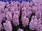 Hiacynt, Hiacynty - Hyacinthus