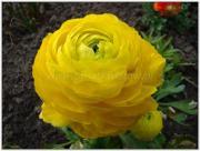 Jaskier ostry, Jaskry – Ranunculus acris