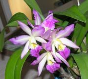 Katleja- Cattleya ( storczyk )