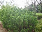 Kosodrzewina, Sosna górska ( Krępulec, Kozodrzew)- Pinus mugo
