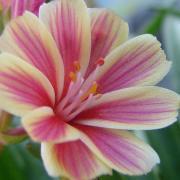Lewizja liścieniowa – Lewisia cotyledon