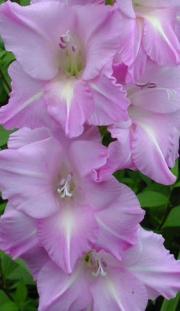 Mieczyk, Mieczyki (Gladiola) – Gladiolus