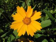 Nachyłek wielkokwiatowy - Coreopsis grandiflora