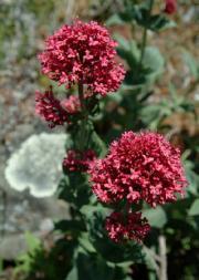 Ostrogowiec czerwony - Centranthus ruber
