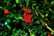 Ostrokrzew, ostrokrzew kolczasty – Ilex