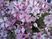 Płomyk szydlasty - Phlox subulata