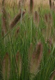 Rozplenica japońska – Pennisetum alopecuroides