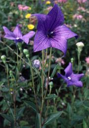 Rozwar wielkokwiatowy - Platycodon grandiflorus