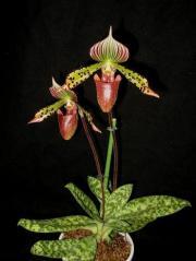 Sabotek, pantofelek Wenus – Paphiopedilum (storczyk)