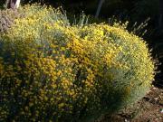 Santolina cyprysikowata - Santolina chamaecyparissus