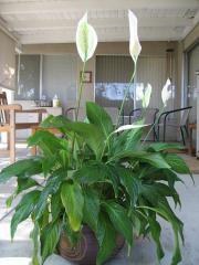 Skrzydłokwiat - Spathiphyllum