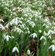 Śnieżyczka przebiśnieg – Galanthus nivalis