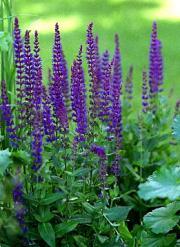 Szałwia omszona - Salvia nemorosa