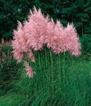 Trawa pampasowa - Cortaderia selloana