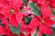 """Wilczomlecz piękny, poinsecja, """" gwiazda betlejemska """" - Euphorbia pulcherrima"""