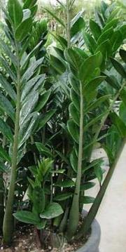 Zamiokulkas zamiolistny ( myl. z Zamia ) -  Zamioculcas zamifollia