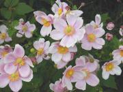 Zawilec japoński - Anemone hupehensis