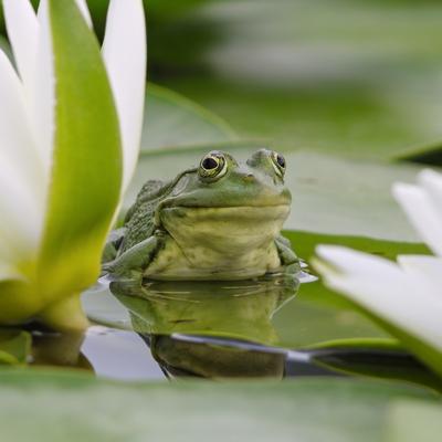 Żaby w oczku wodnym