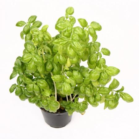 Bazylia pospolita- Ocimum basilicum