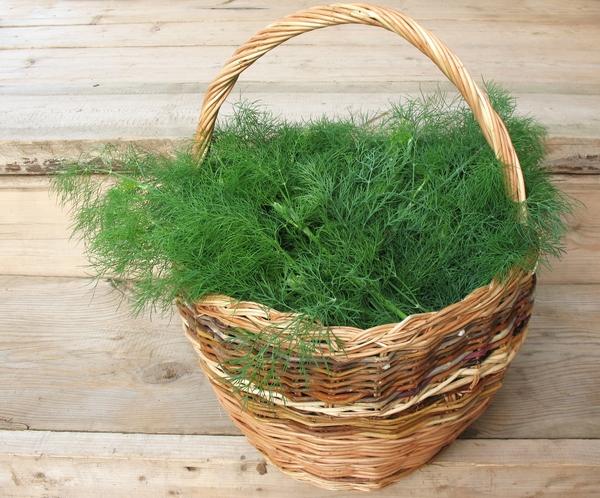 Koper ogrodowy - Anethum graveolens