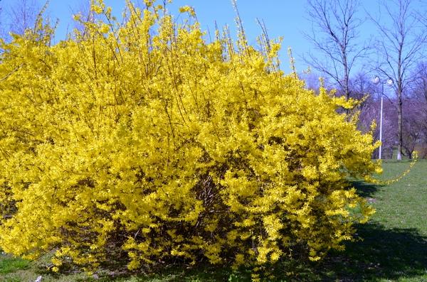 Kwitnące krzewy forsycji