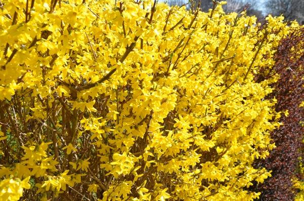 Kwitnący żywopłot z forsycji