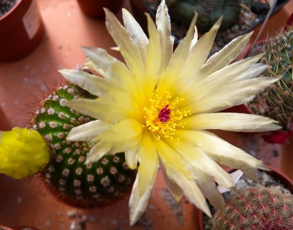 Notocactus (Parodia)